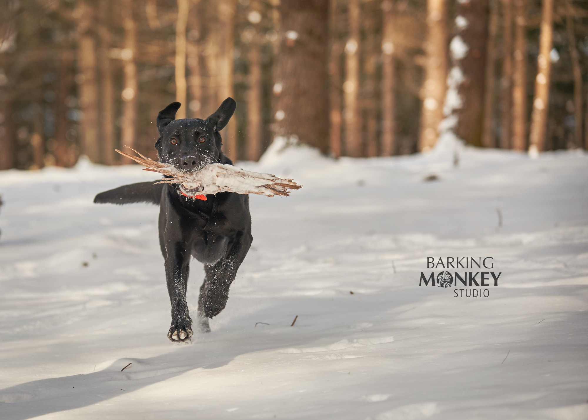 dog stick woods offleash ottawa dog photographer